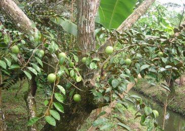 Tác dụng tuyệt vời từ quả tới thân và lá của cây vú sữa